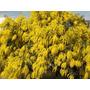 Planta Aromo Frances (acacia Dealbata) 4lts