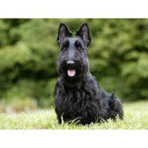 Scottish Terrier Com Pedigree Excelente Cobertura Macho Novo