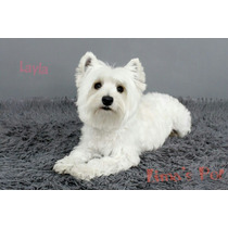 Filhotes De West Higland White Terrier