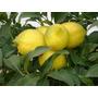 Limonero 4 Estaciones, Naranjos, Mandarinos - Cañuelas