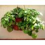Planta De Dolar Maceta Plastico Exterior/interior Tierra