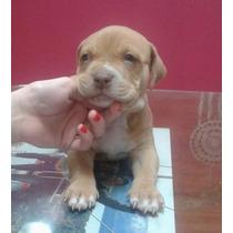 Vendo Perros Pitbull Red Nouse, Nacidos El 22 De Agosto