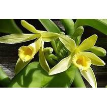 Muda Orquidea Baunilha De 1 Metro P/ Produção De Favas