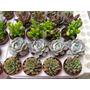 Cactus Y Suculentas Para Decoración O Regalo