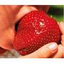Frutillas Gigantes Fruta Fragaria Semillas Para Plantas
