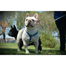 Bulldog Frances Para Servicio