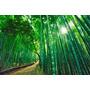 Semillas Bambu Moso Gigante, 40 Semillas X $ 5.000