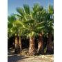 Palmeras Washingtonia Plantas Arboles Arbustos Césped
