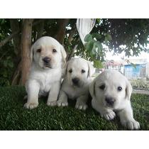Cachorros Labradore Hijos Campeon Microchip Tatuaje Y Certi