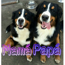 Cachorros Boyero De Berna Hermosos!!!!