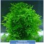 Musgo Taiwan Planta Acuatica Peces