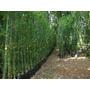 Planta De Bambu Oldhamii Rizoma Mayor De 2 A 3 M.