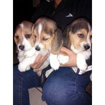 Beagle Cachorros Garantizados