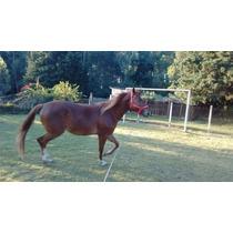 Cavalo Quarto De Milha - Égua 3 Anos Documentada P180983