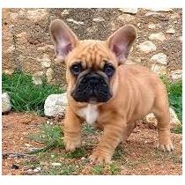 Bulldog Francés Hembra Fawn Rojo