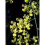 Orquidea Oncidium Fimbriatum