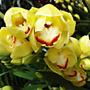Orquídea Cymbidium Amarela Planta Flor Rosa 10 Sementes