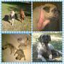 Cachorros Doubull Mastiff