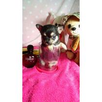 Chihuahua Machitos Minis Fca! Un Lujo
