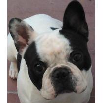 Bulldog Francés Para Servicio-hermoso Ejemplar-