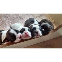 Lindos Filhotes De Bulldog Francês Macho