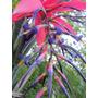 Bromelia - Billbergia Titán - Planta De Colección