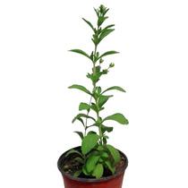 Planta De Stevia 20cm, Producción Orgánica