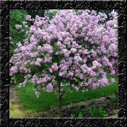 Lilac littleleaf arbusto perfumado sementes flor e for Arbustos decorativos