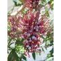 Palo De Fierro-árbol Nativo,floral-frutos Y Follaje Vistosos
