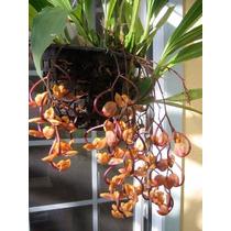 Venta De Orquídeas Gongora Galeata