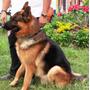 Los Mejores Cachorros Del Pais Linea Alemana