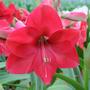 Amarilis Rosa, Hippeastrum 6 Semillas Flores Planta Sdqro