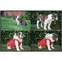 Cachoro Bulldog Ingles 6 Meses Pedigree Internacional