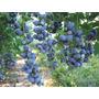 Arvore Frutiferas Mirtilo Ou Blueberry, Excelente Fruta