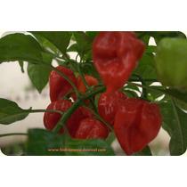 Kit Hidroponico Chile Habanero 196 Plantas +libro +nutriente