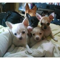 Chihuahuas Minis Machitos Los Mas Lindas!fca