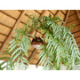 Helecho (planta Gigante De Interior)