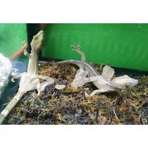 Gecko Lineado Reptil