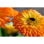 Sementes Da Flor Calêndula Medicinal #tyo7