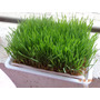 Pasto De Trigo Orgánico ( Whastgrass)