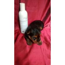 Hembra Tea Cup Tacita De Te Yorkie Super Mini Yorky Terrier