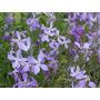 Flor Perfume Da Noite Matthiola Bicornis - Sementes P Mudas