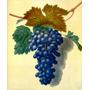 Cacho Deliciosas Uvas Pretas Pintor Brookshaw Tela Repro