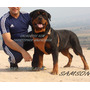 Rottweiler , Sangre De Serbia,cachorros Pedigree Fcv Y Chip