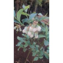 Arbusto De Arandano Planta, Arbol