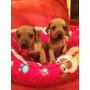 Cachorros Salchicha Miniatura Dachshundhermosos Cachorritos