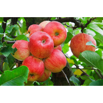 1 Arbol D Manzana De Diferentes Variedades Plantas Frutales.