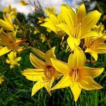 Mudas Lirio Do Dia Dourado Amarelo Lírio Hemerocalis Bulbos