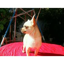 Chihuahua Macho Servicio Stud