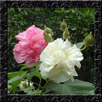 Hisbiscus Mutabilis Hibisco Dobrado Sementes Flor P/ Mudas